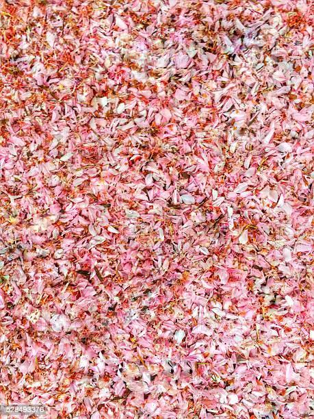 Blanket of cherry blossoms picture id528493376?b=1&k=6&m=528493376&s=612x612&h=4p8h77ozuxr1ldyrjlyjrlgn lu6jxy09wfm2citjvc=
