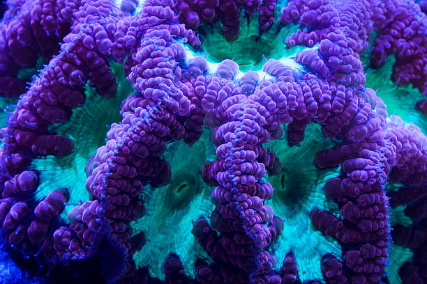 Blastomussa coral A colorful Australian deepwater coral. It is also referred to as branched Cup, Pipe or Pineapple coral. polyp corals stock pictures, royalty-free photos & images