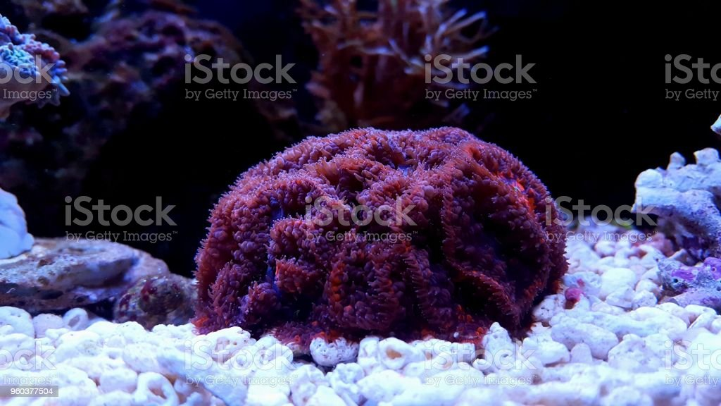 Blastomussa LPS coral in reef aquarium tank stock photo