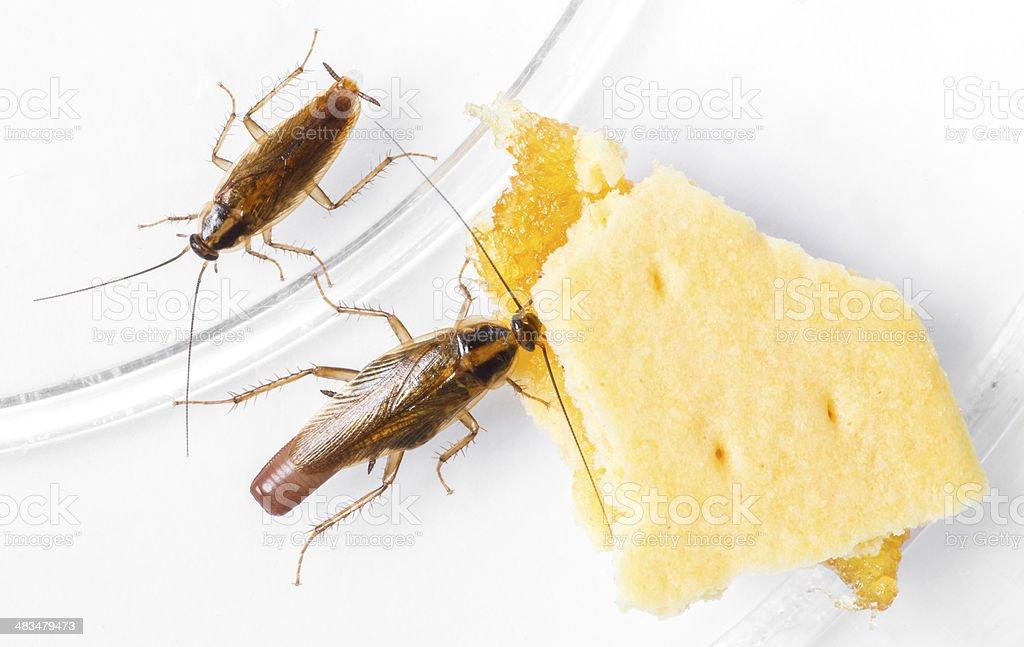 Blattella germanica german cockroach stock photo