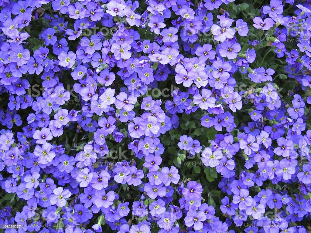 Blaue Fruehlingsblumen royalty-free stock photo