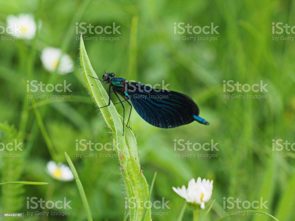 Blaue Libelle auf grüner Wiese - Blue dragonfly op groene weide - Royalty-free Blauw Stockfoto