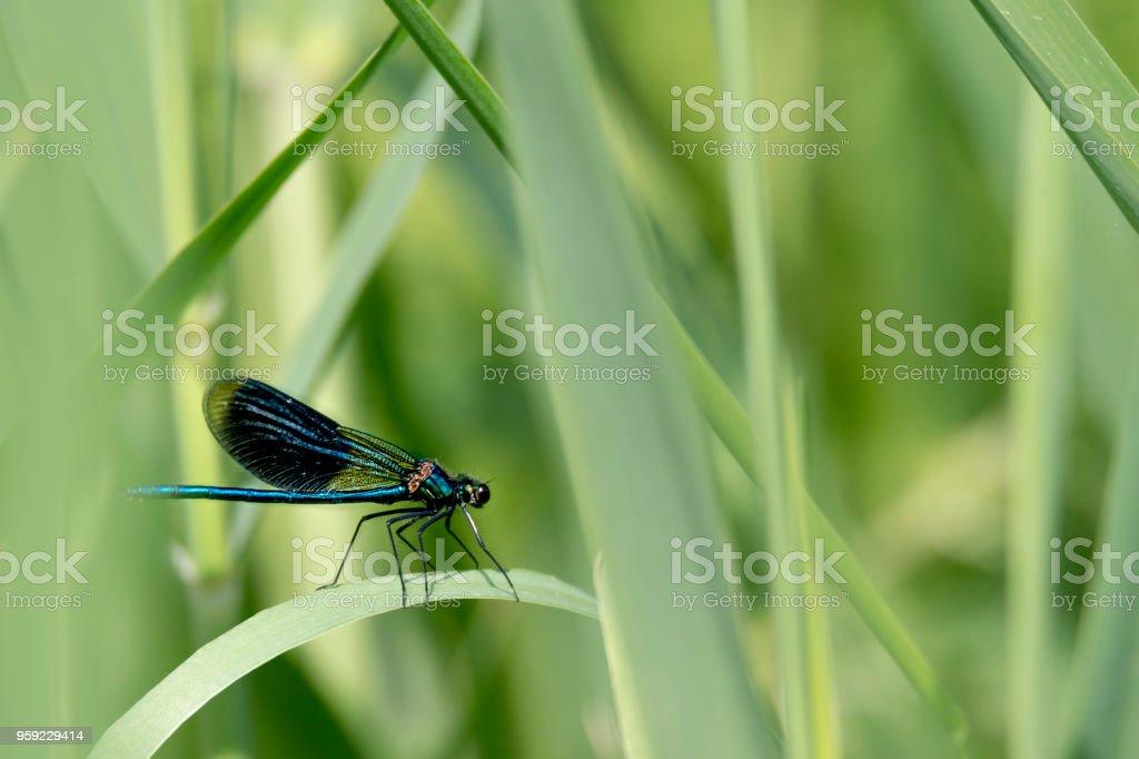 Blaue Libelle sitzt  auf einem Grashalm vor unscharfem Hintergrund mit Textfreiraum stock photo