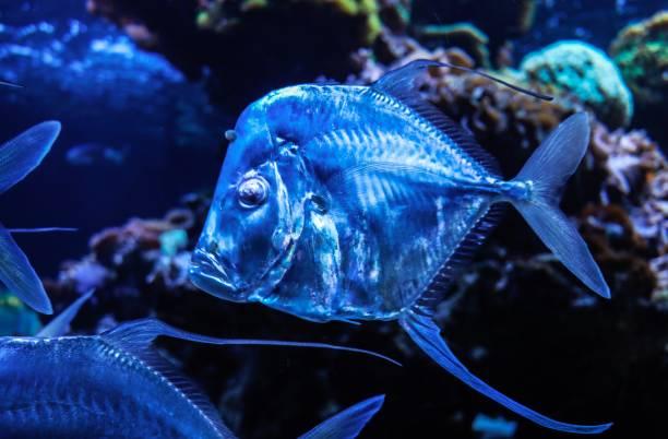 blauer tiefseefisch im schwarm - wasser stock pictures, royalty-free photos & images