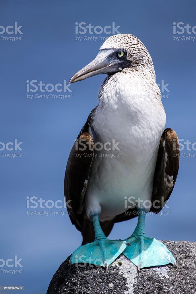 Blaufusstoelpel auf Galapagos Ecuador stock photo