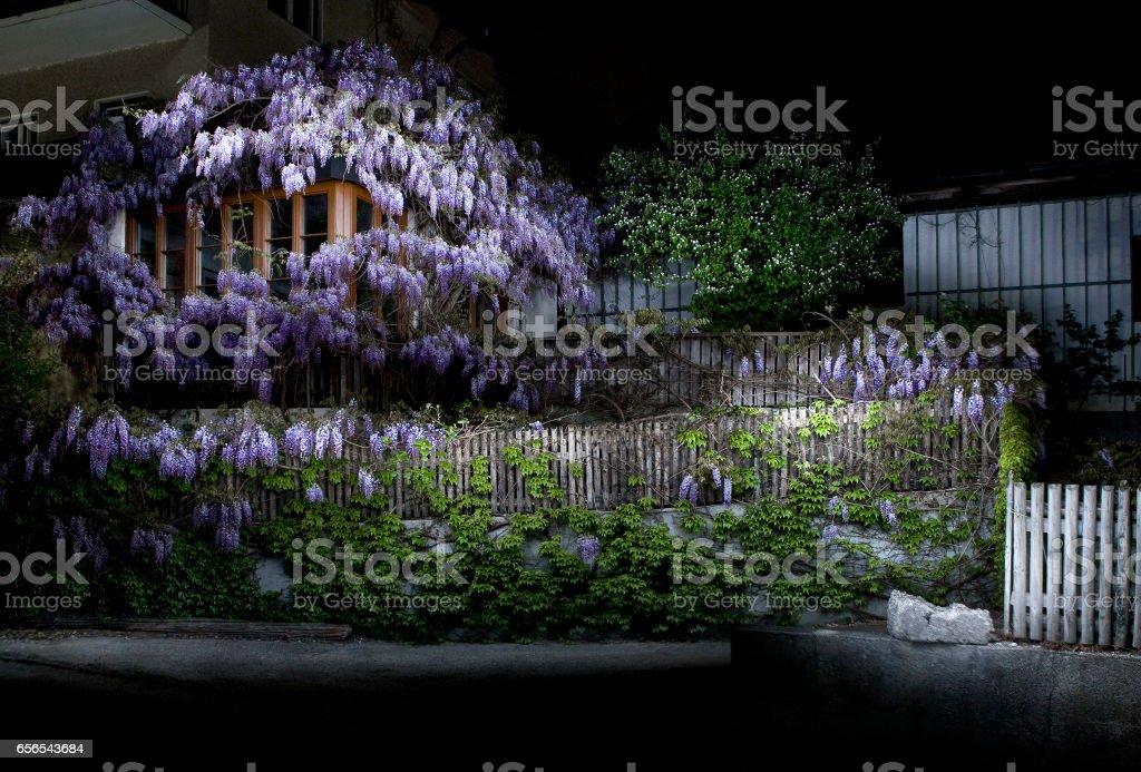 Blauregen stock photo