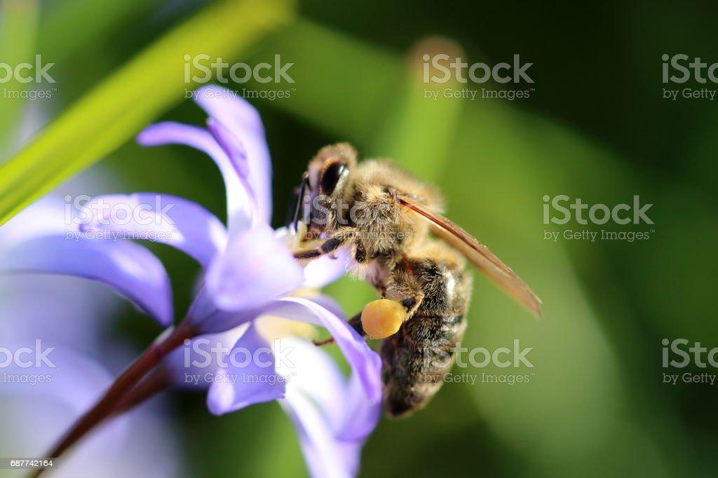 Blaustern mit Honigbiene stock photo