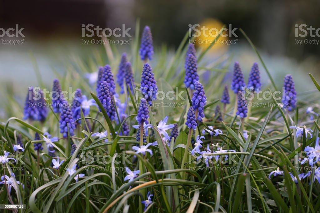 Blaustern und Traubenhyazinthe stock photo