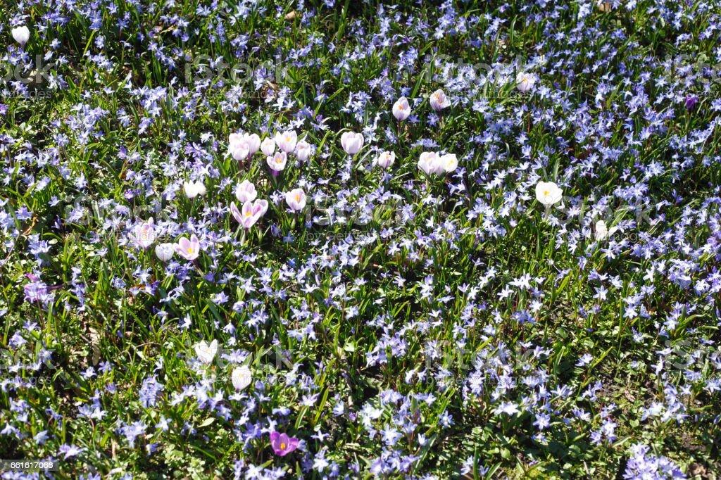 Blausternblüte stock photo