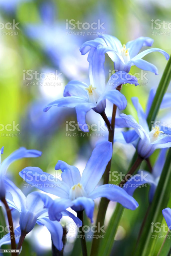 Blausternchen stock photo
