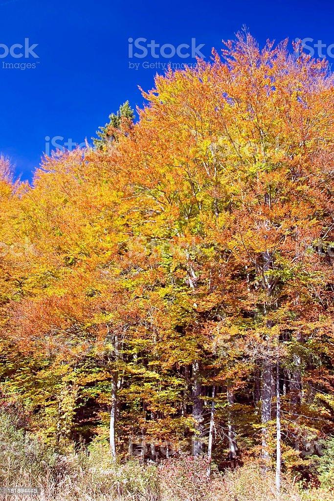 blazing beech tree stock photo