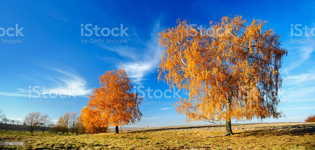 Blazing Birch Trees in Rural Autumn Landscape royalty-free stock photo
