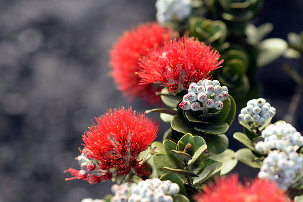 blazing blooms of ohia flowers blazing blooms of ohia flowers at the Volcano National Park, Big Island, Hawaii volcanic landscape stock pictures, royalty-free photos & images