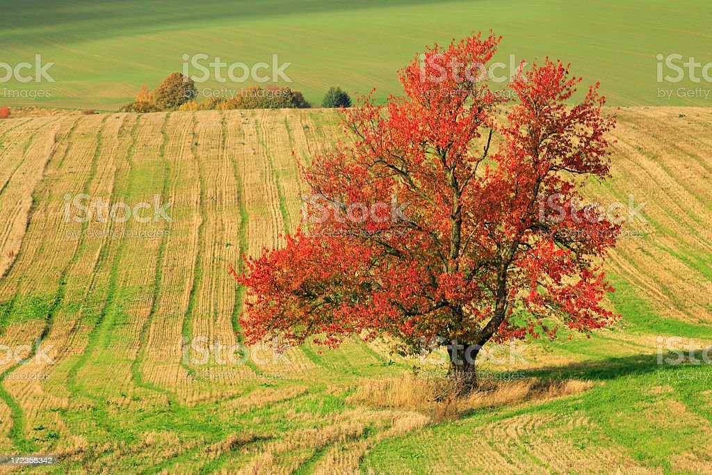 Blazing Cherry Tree royalty-free stock photo