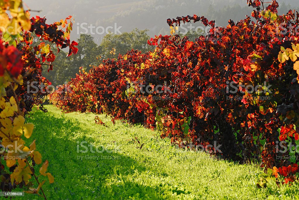 Blazing red vineyards in autumn royalty-free stock photo