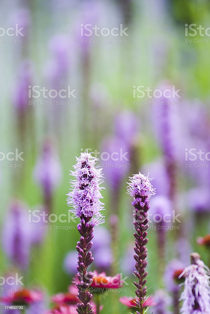 Blazing star (Liatris) flowers - III royalty-free stock photo