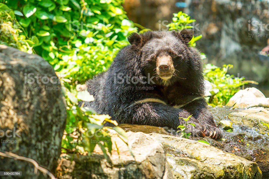 blcak bear stock photo