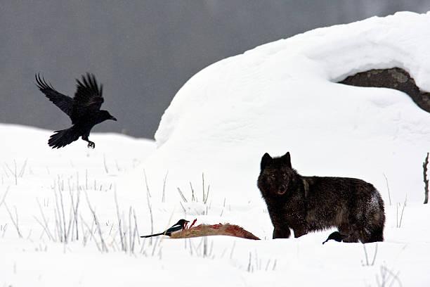 Blck Wolf (Yellowstone NP) stock photo