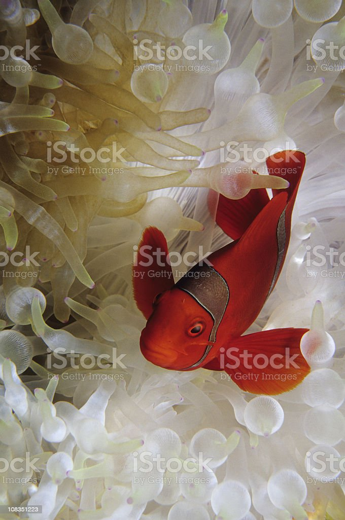 Bleached Anemone with Spinecheek Clownfish royalty-free stock photo