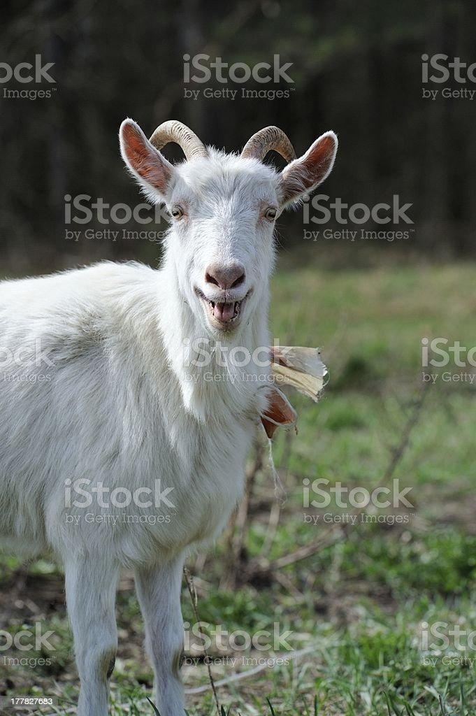 Bêlement de chèvre - Photo