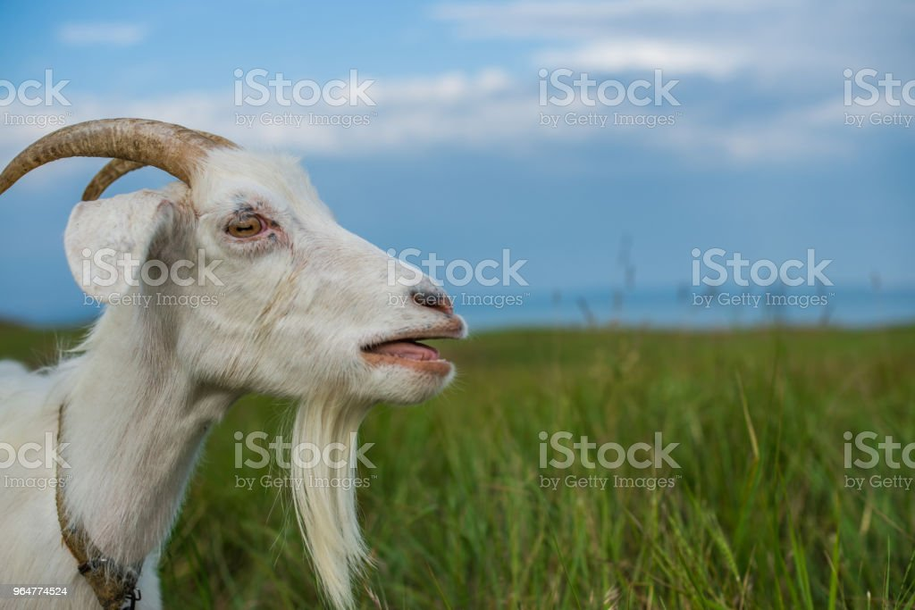 Bleating white goat in the meadow near the sea royalty-free stock photo