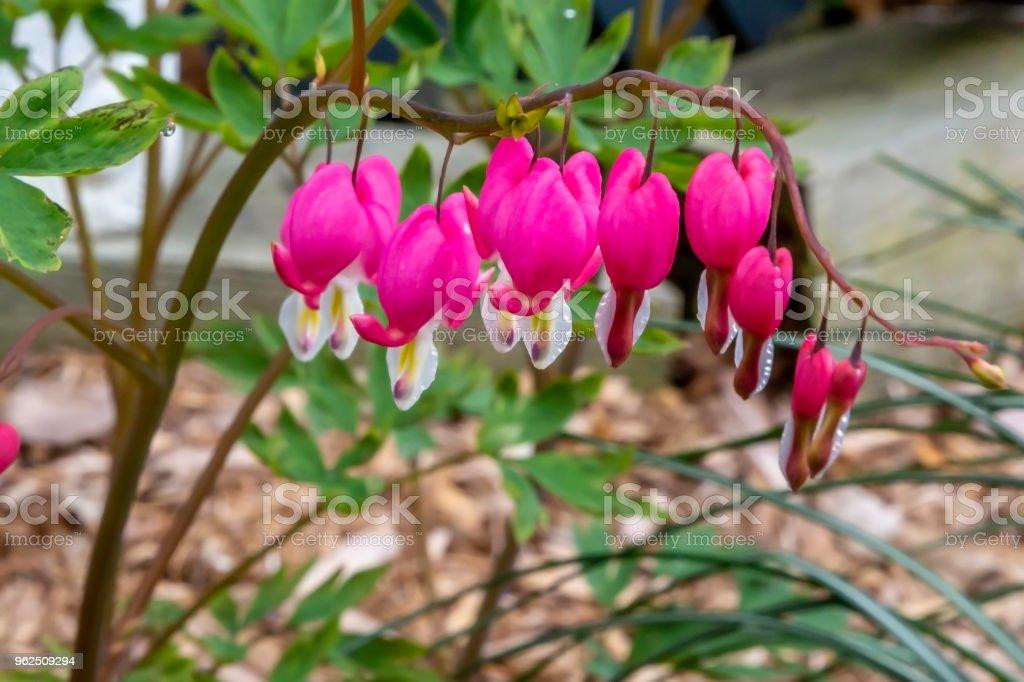 flores do coração sangrando - Foto de stock de Amor royalty-free