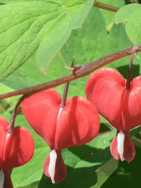 Bleeding Heart Blossoms stock photo