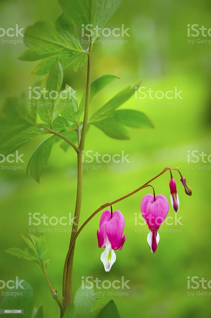Bleeding heart flower - Dicentra spectabilis stock photo