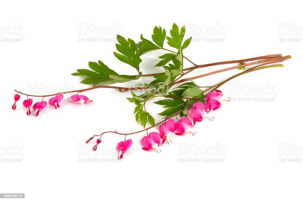 bleeding heart flower isolated on white stock photo