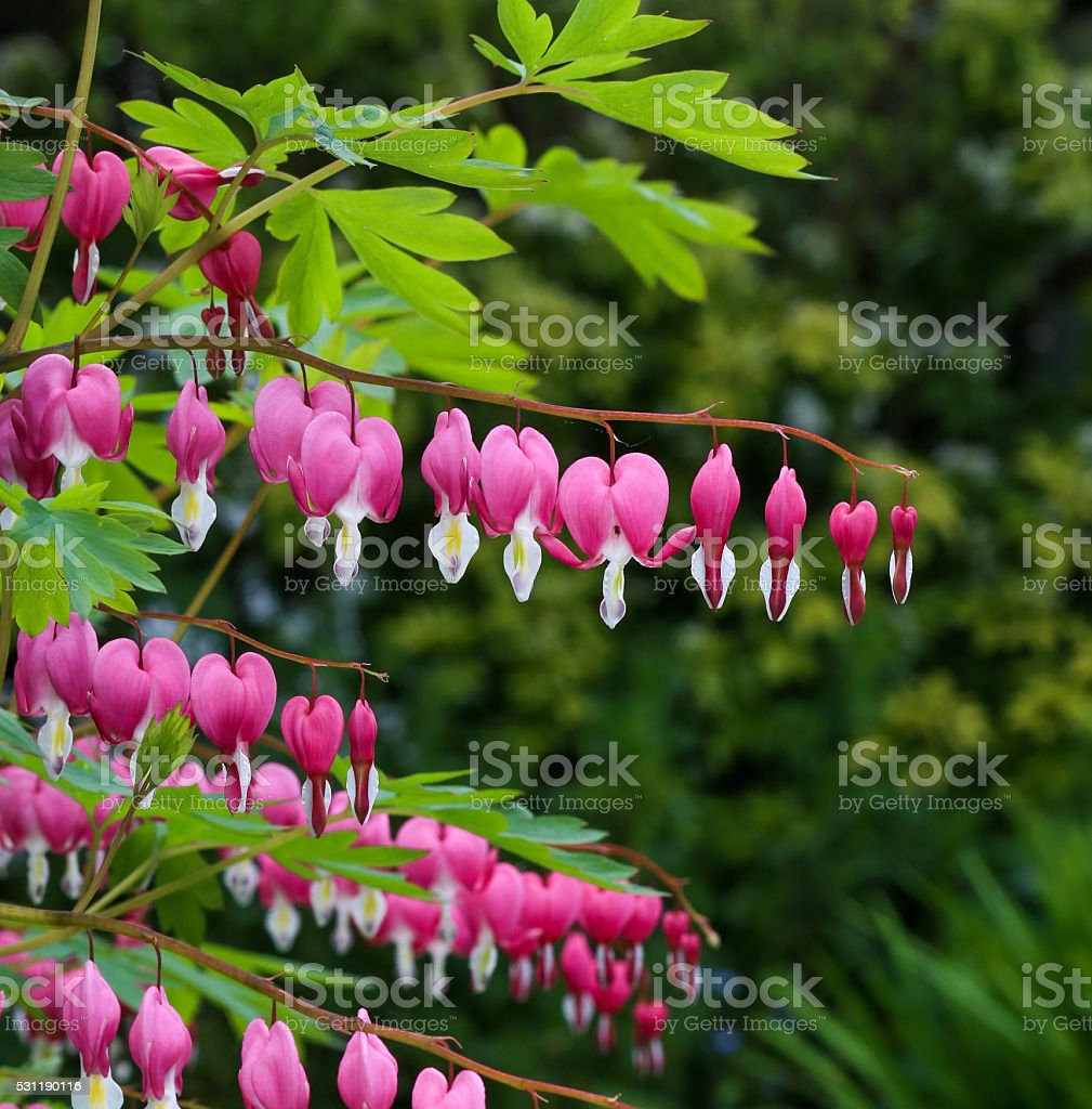 Bleeding heart flower (Dicentra Spectabils) lyre flower love hea stock photo