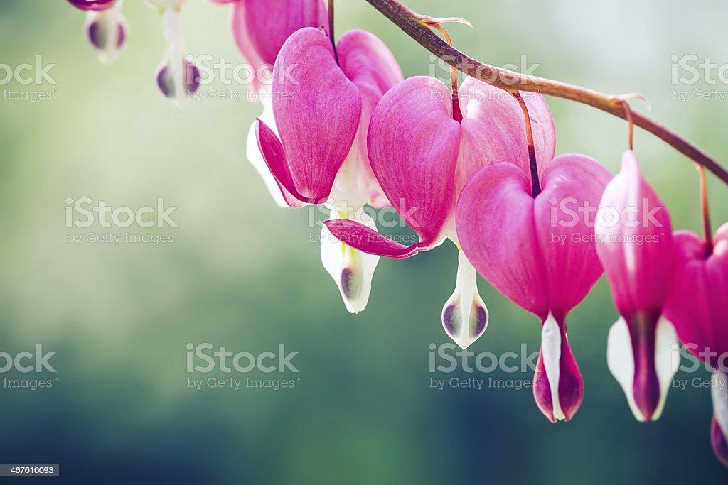 Bleeding heart flower stock photo