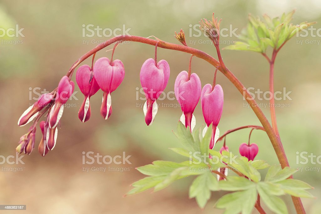 Bleeding Heart Flowering Plant stock photo