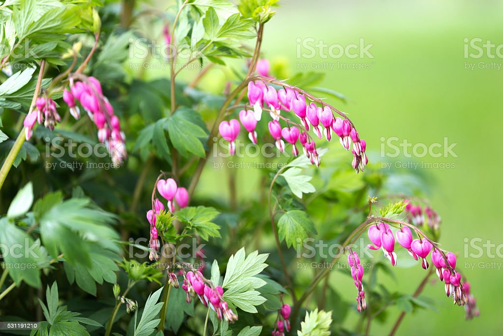 Bleeding Heart Flowers in Springtime stock photo