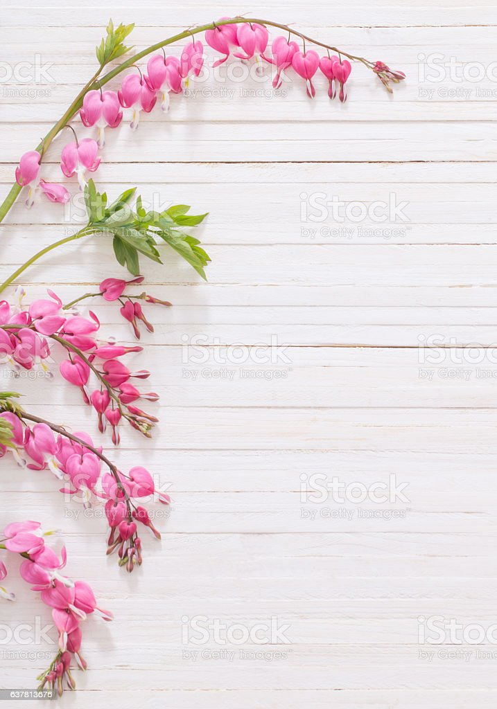 Bleeding heart flowers on white wooden background stock photo