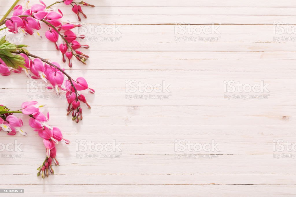 Bleeding heart flowers on white wooden background stock photo