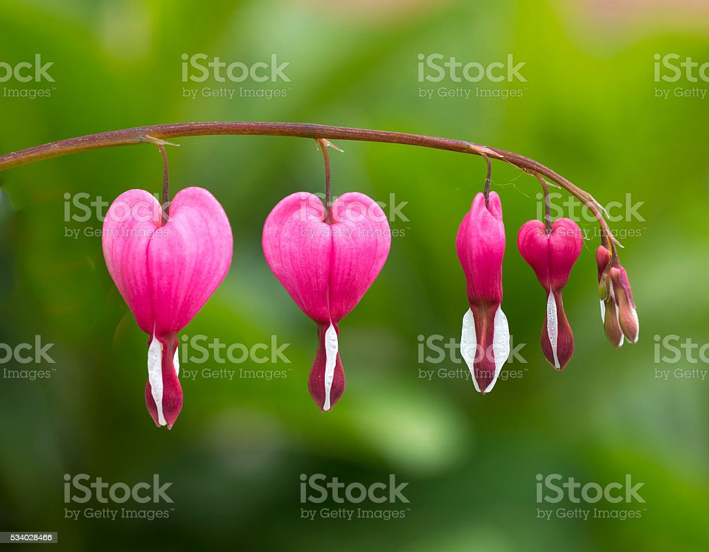 Bleeding heart flowers (Dicentra spectabils) over nature background stock photo