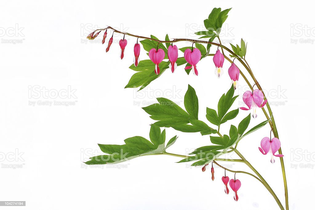 Bleeding Heart Isolated on White stock photo