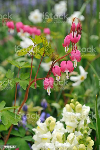 Bleeding Heart Stock Photo - Download Image Now