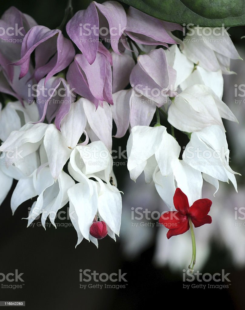 bleeding heart vine   Clerodendrum thomsoniae stock photo
