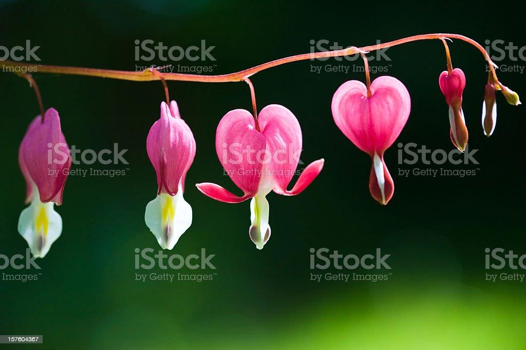 Bleeding Hearts Backlit stock photo