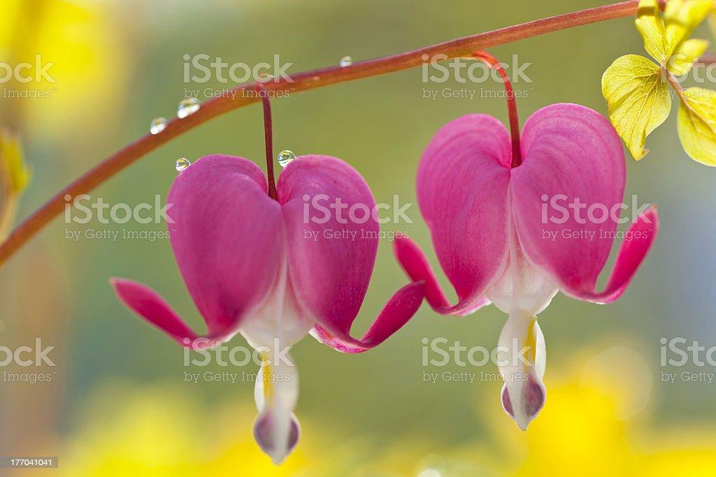 Bleeding Hearts stock photo
