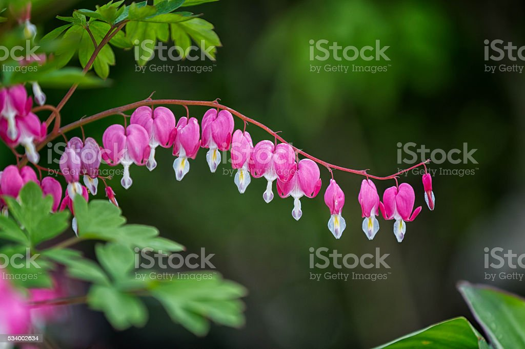 Bleeding Hearts stock photo