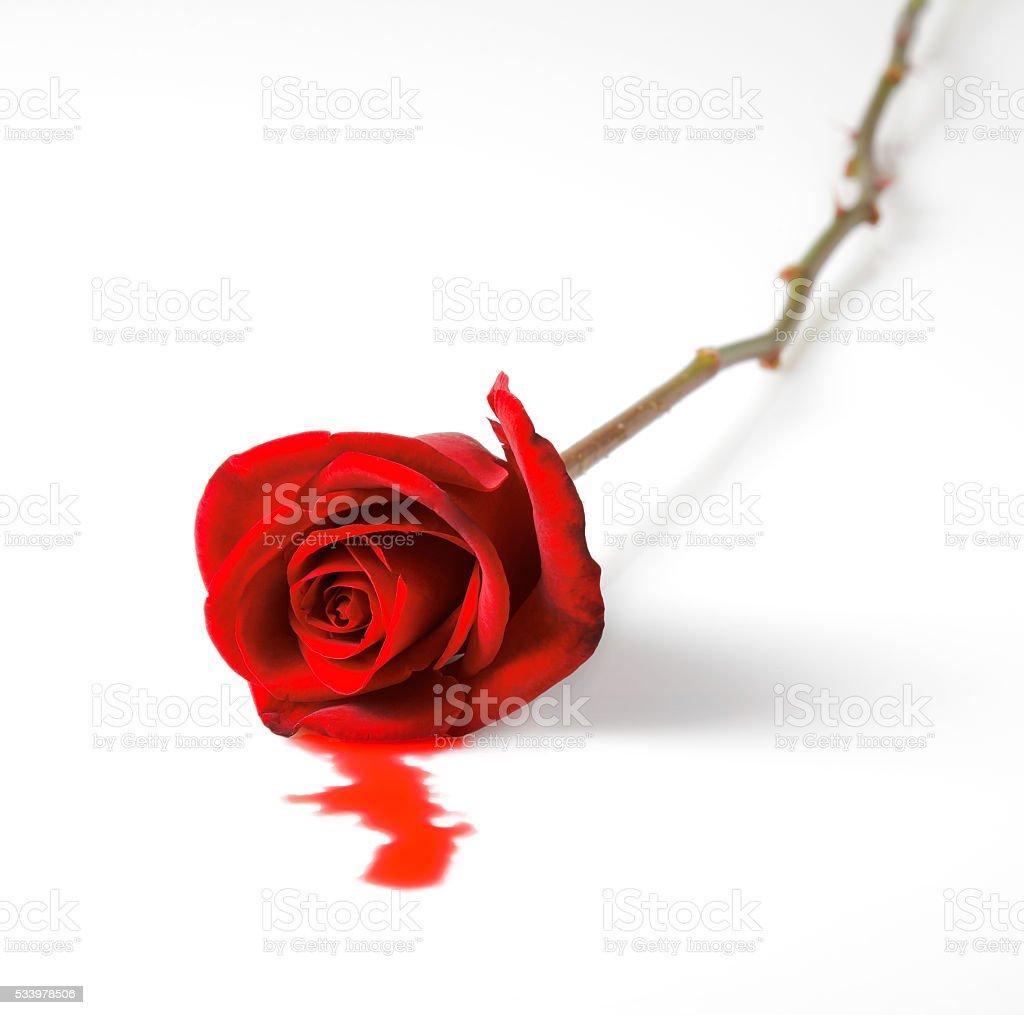 bleeding red rose on white background stock photo