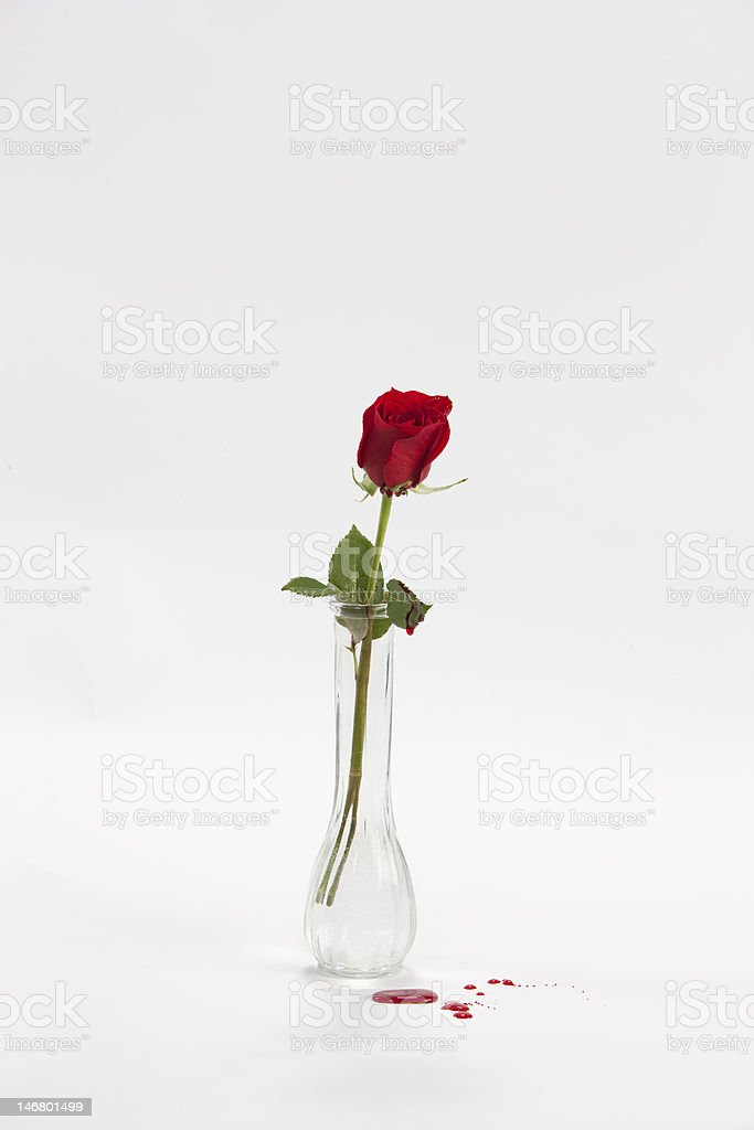 Bleeding rose in vase. stock photo