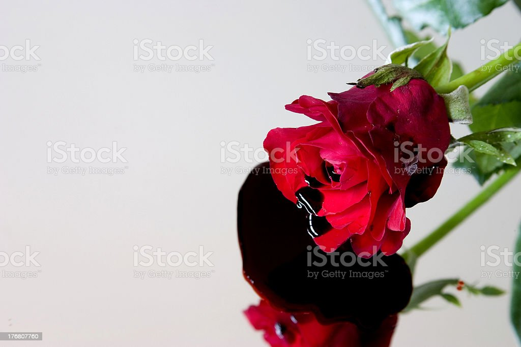 Bleeding rose stock photo