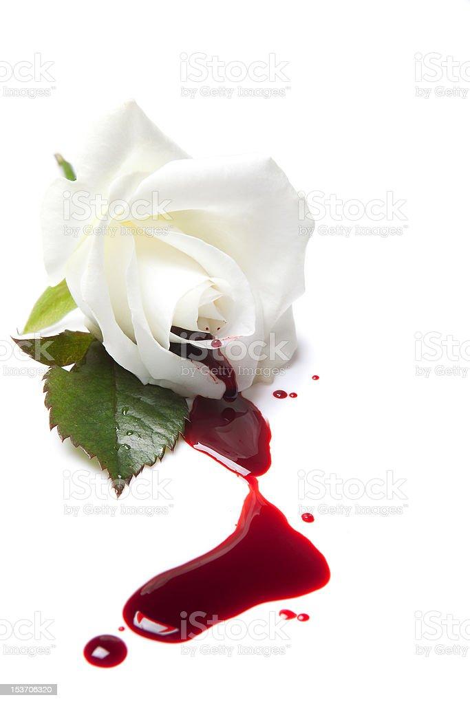 Bleeding white rose stock photo