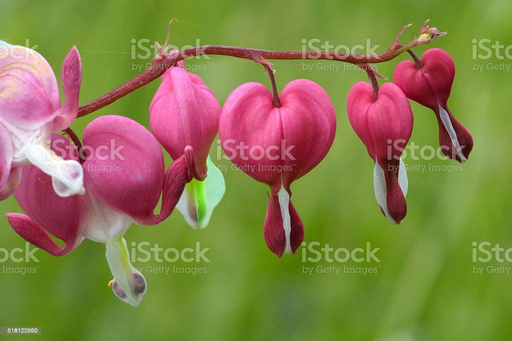 Bleeding-heart flowers stock photo