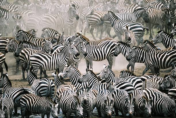 blend in with the crowd - zebra herd - zebra stock photos and pictures