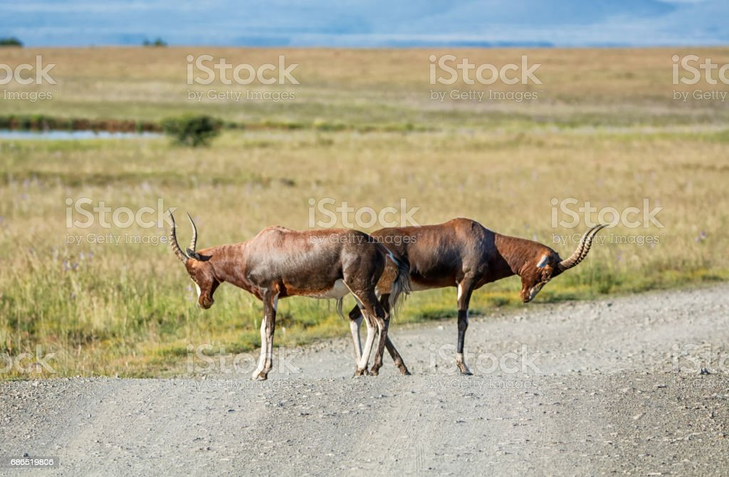 Damalisque à front blanc Antilope photo libre de droits