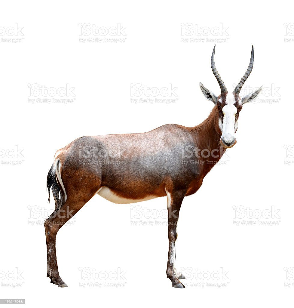 blesbok antelopes stock photo